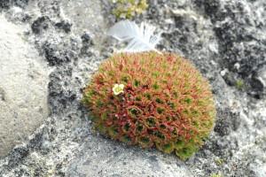 saxifraga-cushion-arctic-desert-bell-island-franz-josef-landrussian-arctic-national-park_d9b8