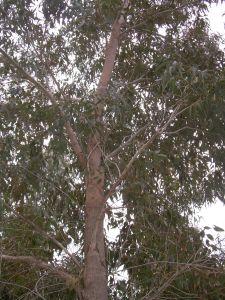 Eucalyptus_botryoides