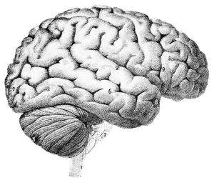 714px-PSM_V46_D167_Outer_surface_of_the_human_brain
