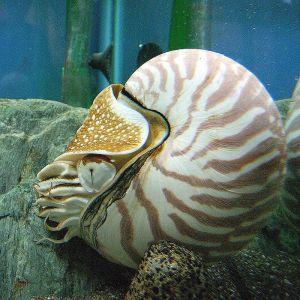 800px-Nautilus