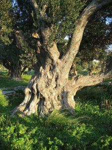800px-olive_tree_karystos2