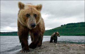 bear_sachalin