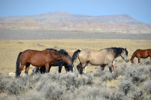 Wild_Mustangs_in_Wyoming