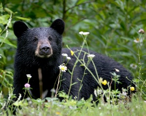 Black_Bear_in_Alaska_(1750394833)